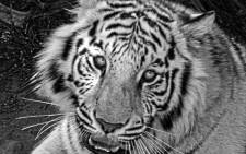 FILE: A 20-year-old man was mauled to death by a white tiger at the New Delhi Zoo.