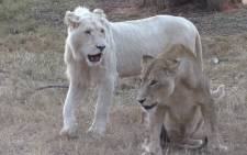 FILE: A lion, like these two pictured here, is missing from the Karoo National Park. Kgothatso Mogale/EWN.