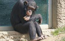The famous apes live in forest of 320 hectares (790 acres).