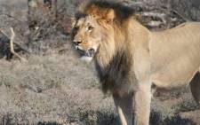 FILE: Sylvester the lion escaped twice from the Karoo National Park and was recaptured on both occasions. Picture: SANParks.