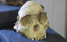 Taung child skull on display at the Phillip V. Tobias Fossil Primate and Hominid Laboratory, Wits, Braamfontein. Picture: Louise McAuliffe/EWN