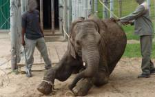 The NSPCA received footage of young elephants being abused by trainers. Picture: Facebook.