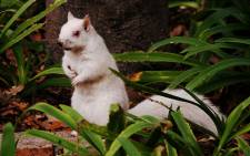 An albino squirrel spotted outside the SA Natural History Museum in Cape Town. Picture: Grant Hillebrand/iWitness