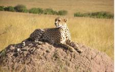 FILE: A cheetah photographed in Kenya. Picture: freeimages.com