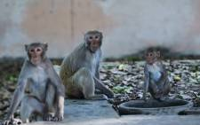 A group of monkeys sit on a roadside in New Delhi. Picture: AFP