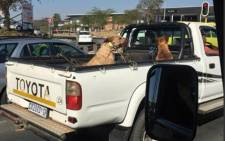 A picture of two bleeding dogs on the back of a bakkie in Sandton has gone viral. Picture: Twitter.
