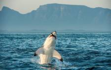 Great White Shark (Carcharodon carcharias) hunting near Cape Town, South Africa.