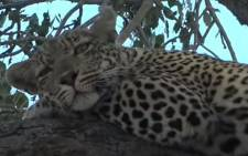 A screengrab of a leopard from one of WildEarth's virtual safaris.