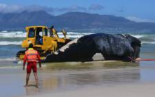 A bulldozer pushes a dead whale out of the ocean on 8 October 2012. Picture: Aletta Gardner/EWN