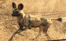A wild dog in the Kruger National Park. Picture: Dominic Majola/Eyewitness News