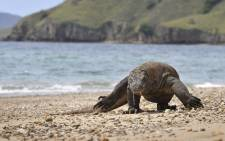 A Komodo Dragon searches the shore area of Komodo island for prey.  Picture: AFP