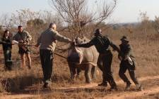 FILE: With more rhinos killed in the Kruger National Park, rangers have decided to translocate many of the park's rhino to safer areas where they are less vulnerable to poaching. Picture: Vumani Mkhize/EWN.