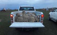 39 sheep were recovered after being stolen in Dutywa. Picture: SAPS.
