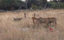 Lucky the cheetah and her two male cubs stand their ground against a pack of wild dogs. Picture: Chris Hennessy
