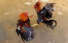 Villagers engage in a cockfighting in a make shift arena outside Manila on August 10, 2014. Picture: AFP.