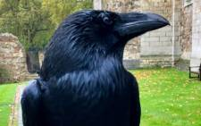Merlina, one of the Tower of London's ravens. Picture: Twitter/@TowerOfLondon