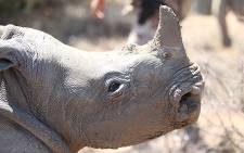 A rhino calf waits to be relocated following the death of its mother. Picture: Taurai Maduna/EWN.