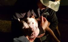 One of the two pit bulls that were involved in the dogfight. Picture: NSPCA Facebook