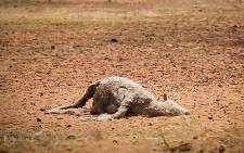 FILE: An dead sheep lies in a dry field after sever water shortages hit the Western Cape area. Picture: Anthony Molyneaux/EWN
