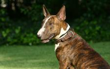 FILE: Bull terrier. Picture: freeimages.com.