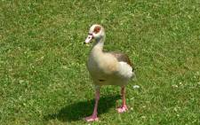 FILE. The eyewitness says police acted swiftly to save both the goose and all of her goslings. Picture: Free Images.