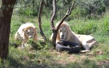 Two lions at the Akwaaba Predator Park. Picture: Akwaaba Predator Park/Facebook