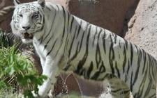 A white Bengal tiger. Picture: AFP