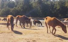 A team of horses that once belonged to the South African Army is seen at a farm in Gauteng. Picture: Supplied.