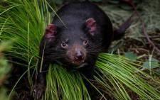 Nick, the Tasmanian devil. Picture: Facebook.