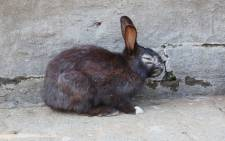 A bunny suffering from mange in the Benoni Bunny Park.  Picture: Christa Eybers/EWN.