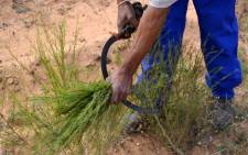 A farmworker harvests rooibos. Picture: Aletta Harrison/EWN