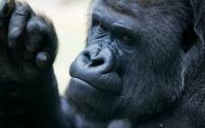 A male gorilla. Picture: Stock.xchng