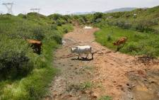 Residents of Ledig near Sun City have complained about raw sewage spilling onto a major road and into the local stream which is a water source for their cattle. Picture: Sethembiso Zulu/EWN