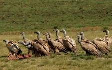 Cape Vultures. Picture: Commons Wikipedia