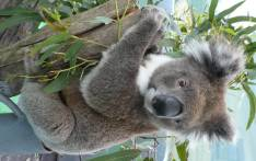 Dakar the koala, a young adult male who received a faecal transplant from wild koalas feeding on messmate. Picture: Michaela Blyton