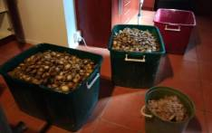 The abalone seized in a joint operation on 27 August 2019. Picture: @SAPoliceService/Twitter