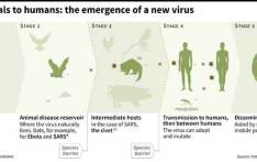 Graphic explaining the transmission of a coronavirus from animals to humans. Picture: AFP