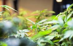 Medical marijuana plants under lighting in a grow house. Picture: Thomas Holder/EWN