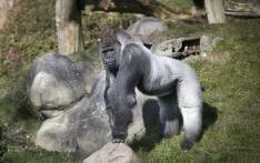 Gorilla. Picture: AFP.