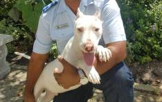 A happier looking Cooper the pitbull. Picture: Animal Welfare Society of SA