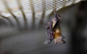 A horseshoe bat. Picture: AFP