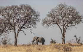 An elephant crosses in Kruger National Park. Picture: Abigail Javier/EWN.