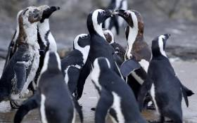 African penguin. Picture: AFP