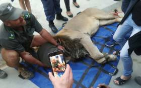 The lion went missing from the Karoo National Park and was found roaming 50 kilometres from Sutherland towards Calvinia, in the Northern Cape. Picture: Supplied