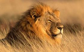 A lion at the Dinokeng Game Reserve. Picture: dinokengreserve.co.za