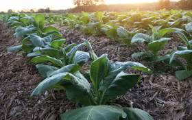 tobacco-farm-farming-cigarette-value-chain-industry-plant-crop-harvest-123rf
