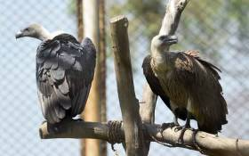 FILE: This photograph taken on 20 September 2017, shows white-backed vultures in their enclosure at the Vulture Conservation Centre run by World Wide Fund for Nature-Pakistan (WWF-P) in Changa Manga, about 80km from Lahore. Picture: AFP.