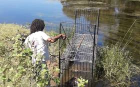 Humane trap cages have been set up on the riverside of the Breede River to attempt to recapture the remaining animals on the loose. Picture: Supplied