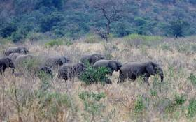 A herd of elephants in the Hluhluwe Game Reserve. Picture: Supplied