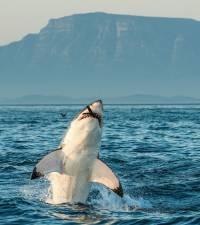 Great White named Helen filmed, for 1st time ever, strategically killing a whale